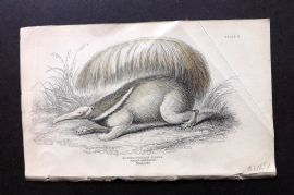 Jardine 1830s Hand Col Print. Great Anteater 22